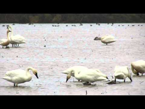 Tundra Swans in Yuba County Rice