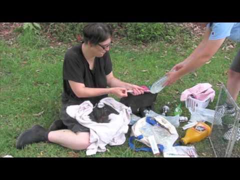 Wolli Creek bat rescue