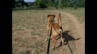 Border Terrier Mix Barks At Bicycle Far Away