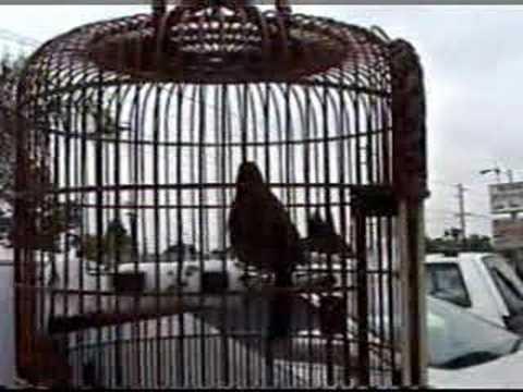 video chim