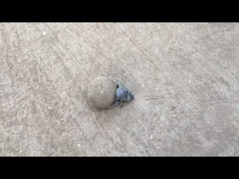African Dung Beetle - CrittaCam
