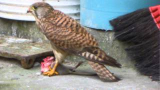 The Eagle Eating.. 灰面鷲進食過程 (內容有點血腥請斟酌收看)