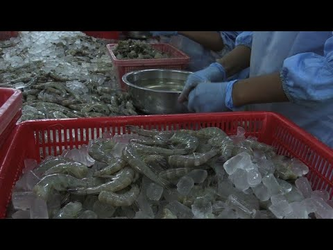 Au Vietnam, la crevette, bonne fortune des riziculteurs