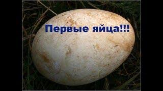 Мускусные утки занеслись - первые яйца