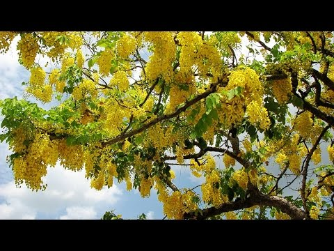 Sonalu Flower (সোনালু ফুল/ বাঁদর লাঠি ফুল/ Cassia Fistula/ Golden Shower Tree) Are In Full Blooming