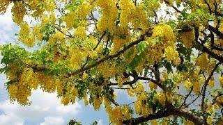Sonalu Flower (সোনালু ফুল/ বাঁদর লাঠি ফুল/ Cassia Fistula/ Golden Shower Tree) Are In Full Blooming