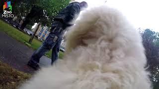 ГоПро и Пудель - Мир глазами собаки / GoPro and Poodle - Go pro dog
