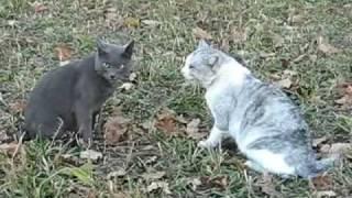 Драка котов cat fight crazy cats fightings
