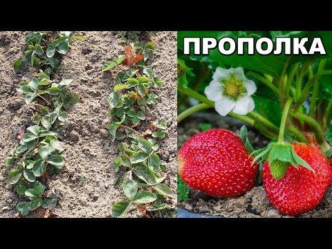 Как прополоть клубнику осенью