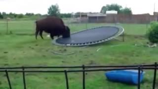 Бизон решил попрыгать на Батуте. Прикол(Весёлый бизон хочет прыгать на батуте. ЗДЕСЬ МОЖЕТ БЫТЬ ВАША РЕКЛАМА!!! Доска бесплатных объявлений Полиме..., 2015-11-20T14:20:39.000Z)