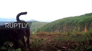 World's rarest cat 'caught on cam' in Russia's Leopard Park