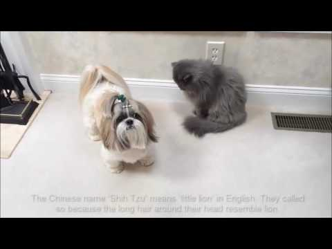 Top 10 Smallest Dog Breeds In The World - Dogs breeds Animals