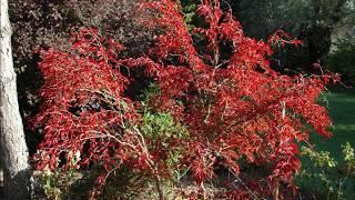 Prunus incisa 'Kojo-no-mai' video