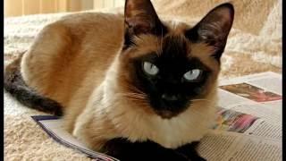 Порода кошек. Тонкинская кошка.Описание и Характеристика. Происхождение.