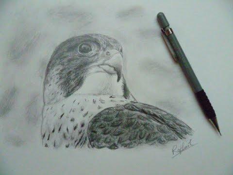 Comment dessiner un faucon youtube - Dessiner un faucon ...