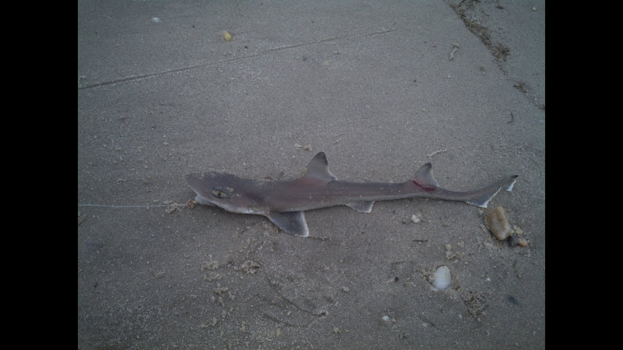 Shark Surf Fishing Broadkill Beach