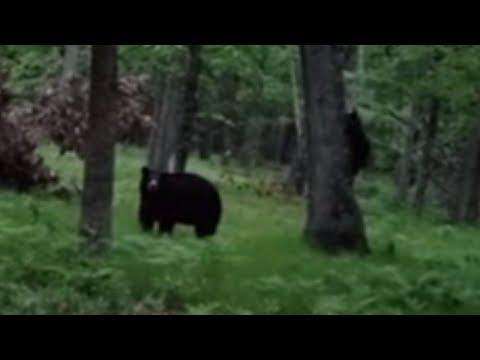 Mama bear and cubs climb down backyard tree