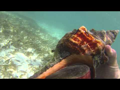 Dry Tortugas NP snorkeling #BeefCornellUGA admires Queen Conch & shell SW Ft Jefferson HD 2013!