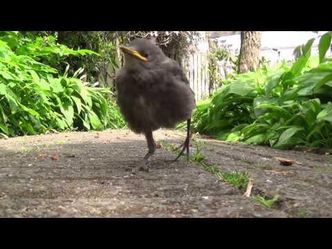 Young #Blackbird up close - #birds #vogels - Jonge merel