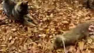 都多加良荘で2006年1月に生まれた仔犬・鉄千代の生後60日前後。 http:...