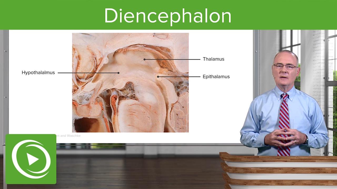Diencephalon: Components & Structure – Brain & Nervous System | Lecturio