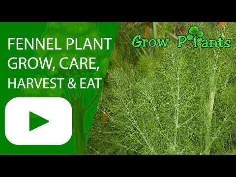 Fennel plant - growing, care, harvesting and eat