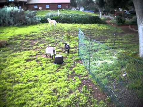 Pygmy Goats Jumping and Playing with Anatolian Shepherd Livestock Guard Dog