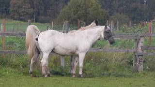 Привязчивость старых лошадей к партнерам по прогулкам.