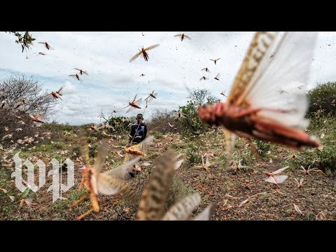 Billions of locusts