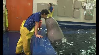 Beluga Whale Has A Crush On A Cute Zookeeper | Kritter Klub
