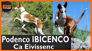 ✨Podenco Ibicenco EN ACCIÓN  Origen Ibiza