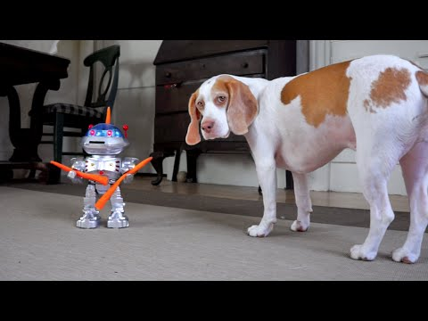 Dog vs. Carrot-Wielding Robot: Funny Dog Maymo