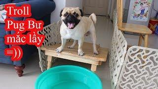 Chủ gài bẫy max lầy - Chó Pug Bư đã phải sủa lên trong vô vọng vì quá ức chế =)) PUGK VLOG