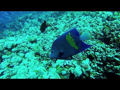 Arabian Angelfish Red Sea 2014 Final