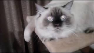 Кот Ден Лотос, породы невская маскарадная. Глаза огонь! (3.12.18)