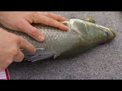 AFANT Fish Tagging - How To Tag A Barramundi.