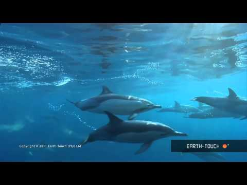 A wildlife spectacle: Earth-Touch's best Sardine Run footage