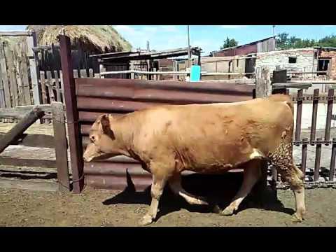 годовалые бычки видео