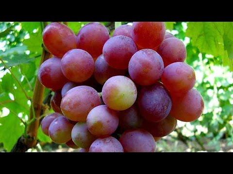 Виноград Блестящий – красный виноград, мускат