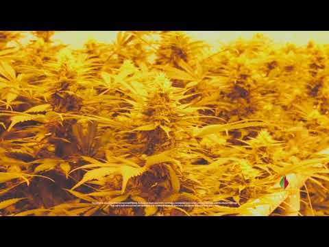 Marijuana Farm Tour - GLW