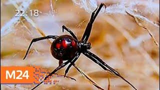 Из-за жары в столичном регионе появились ядовитые пауки - Москва 24
