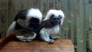 Игривые обезьянки, эдипов тамарин. Playful monkey, tamarin Oedipus.