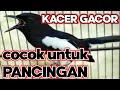 Suara Burung Kacer Kacer Gacor Siang Malam Cocok Buat Pancingan  Mp3 - Mp4 Download