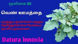 வெண் ஊமத்தையின் மருத்துவ குணங்கள் white oomathai Datura innoxia 