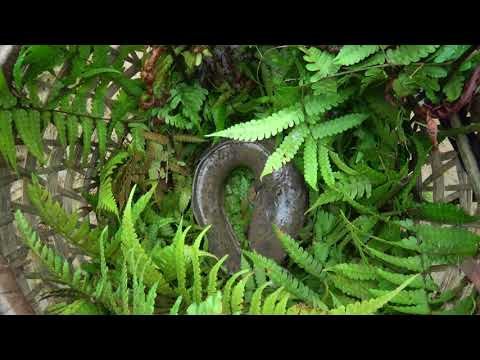 Primitive Survival Skills - Ethnic Girl Catch Catfish In Mud Pond And Meet Forest People