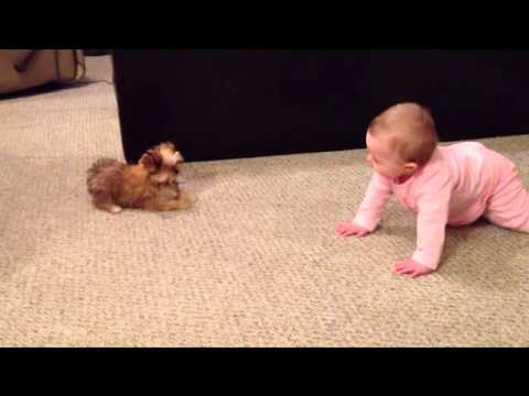 Thumbnail: BABY DOG WHISPERER! Cesar Millan has nothing on her!! Shorkie Puppy Talks to Baby