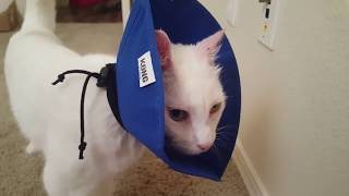 Video Review: Kong Soft Ecollar for Cats or Small Dogs