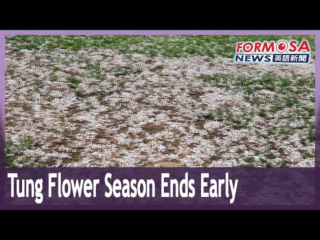 Tung flower season ends early in Sanzhi