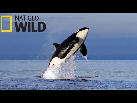 Суперхищники — Касатка (Документальные фильмы Nat Geo Wild HD)