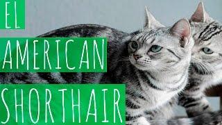EL AMERICAN SHORTHAIR